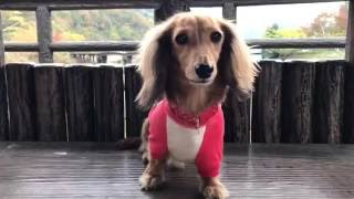 Miniature Dachshund モモと紅葉狩りに行って来ました^ - ^ 愛犬と散歩...