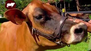 Manejo Reproductivo en Vacas Lecheras - Jersey Pardo suizo etc- TvAgro por Juan Gonzalo Angel