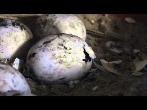 eclosion d 39 une tortue terrestre terrarium youtube. Black Bedroom Furniture Sets. Home Design Ideas