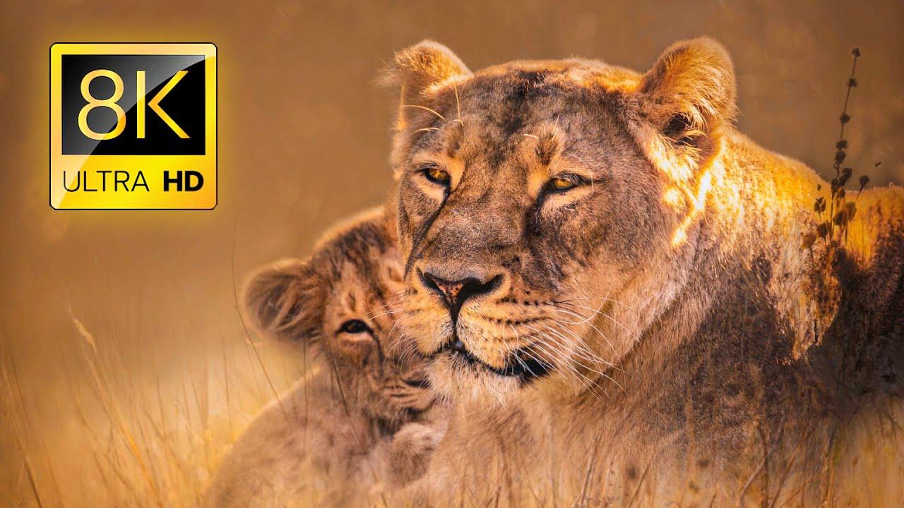 Ultimate African Wildlife 8K ULTRA HD / 8K TV