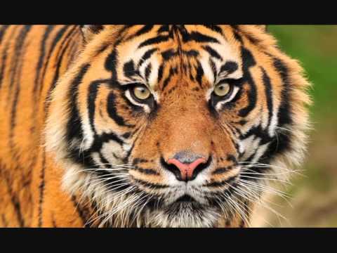 Jah Wobble   Tiger Tiger