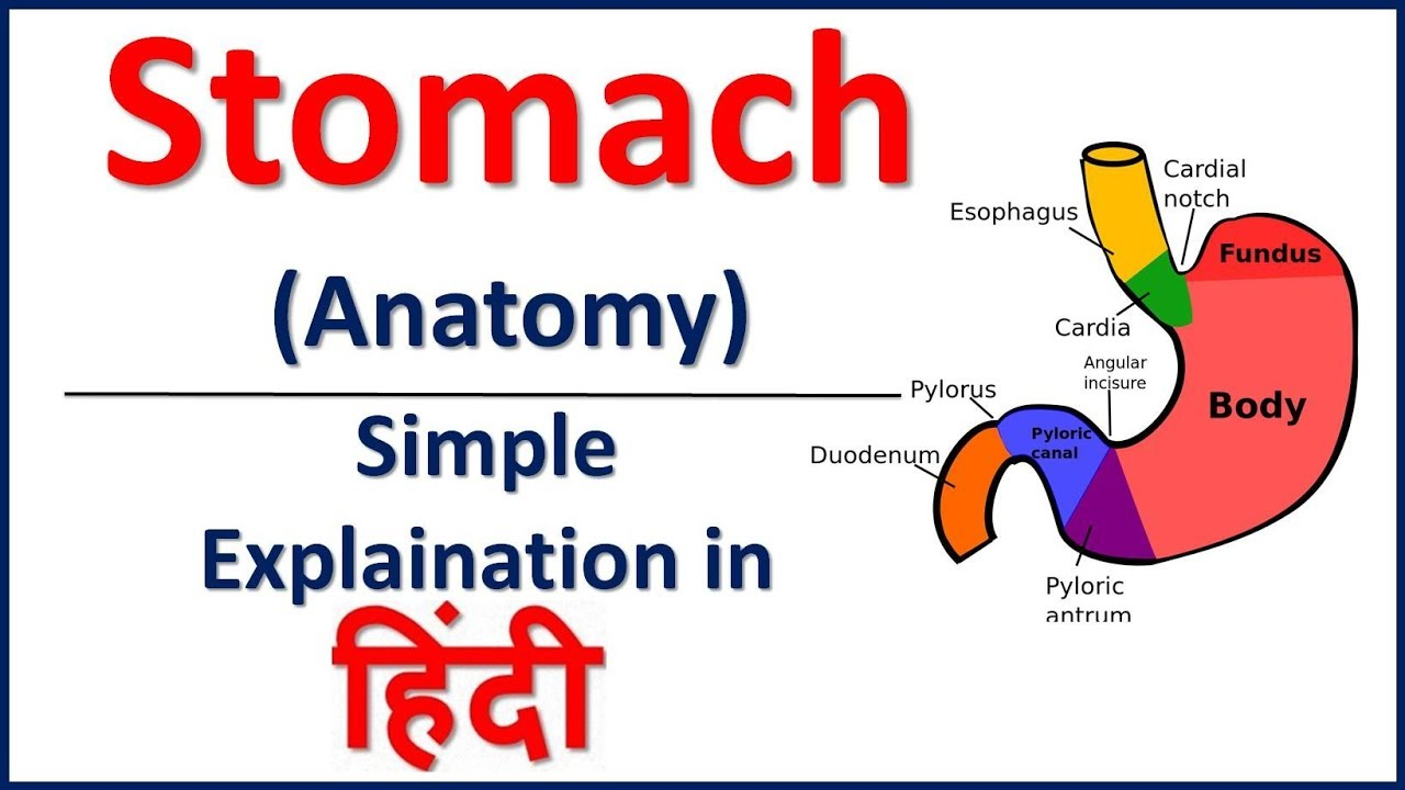 Anatomy of Stomach in Hindi | Bhushan Science - YouTube