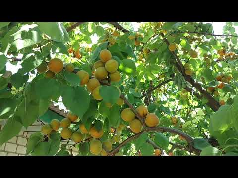 Абрикос Ананасный Шалах /Apricot Shalah/ . Опылители. Отзыв и видео от Макси Сад.