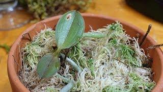 Как из одной орхидеи вырастить 100 без цитокининов