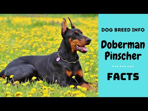 Doberman Pinscher dog breed. All breed characteristics and facts about Dobermann dogs