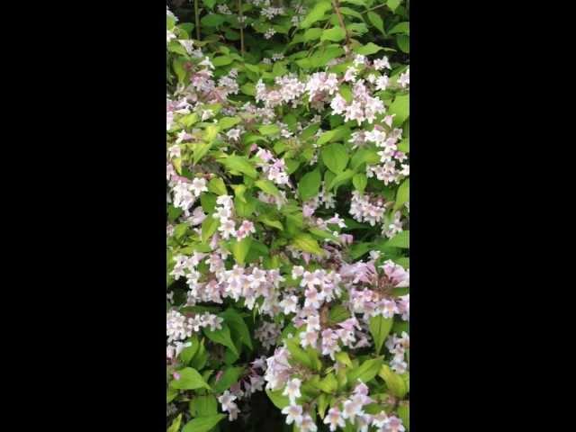 Kolkwitzia amabilis 'Dream Catcher'