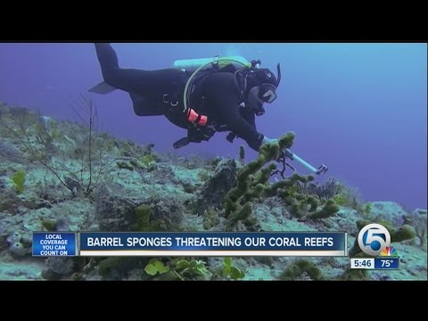 Barrel Sponges Threatening Our Coral Reefs