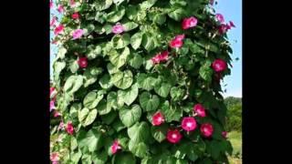 Любимые растения-Адлумия губчатая