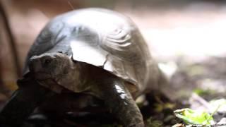 Pedro The Marginated Tortoise walking around ...dreaming - Breitrandschildkröte