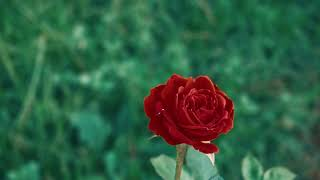 Red rose against a green lawn and park.Free stock video.Full HD footage Free. Rec.709 1080p 60fps #2