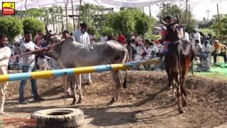 DHALIWAL (Jalandhar)   BULL HALTI RACES   ਬਲਦਾਂ ਦੀਆਂ ਹੱਲਟ ਦੌੜਾਂ - 2016    Full HD    Part 3rd