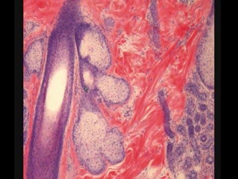 Гистология (Гиста)