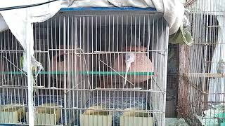 SELL MY BUDGIES | DROP UR CONTACT NO IN COMMENT BOX (PAKISTAN-KARACHI)