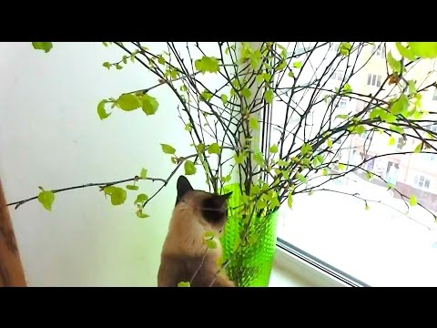 Листочки на ветках березы зимой / The leaves on the branches of a birch in winter
