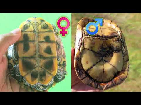 8 Ways to tell whether a Turtle is Male or Female