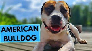 American Bulldog  TOP 10 Interesting Facts