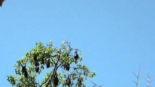 A colony of Indian flying foxes in Peradenya Botanical Gardens.