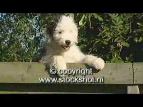 Old English Sheepdog & pups