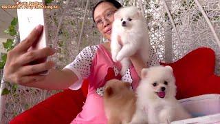 Tìm chủ cho bầy chó phốc sóc mini tại LoHa Pet Shop