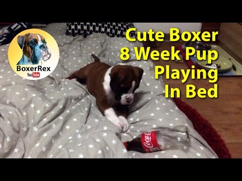 Cute boxer puppy 8 weeks old playing with bottle in bed. Boxer dog Rex.