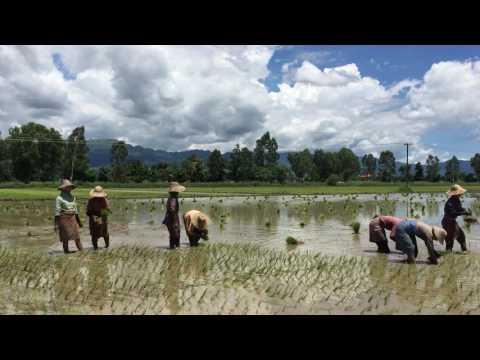 Women Planting Rice in Inle Lake Myanmar