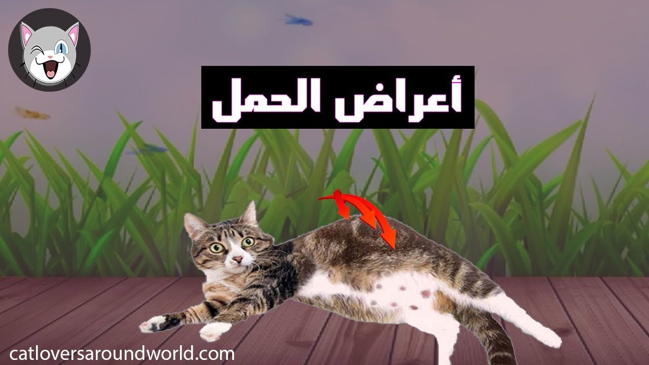 اعراض حمل القطط وهل القطة تنام كثيرا وتأكل بشراهة هام لعشاق القطط Youtube