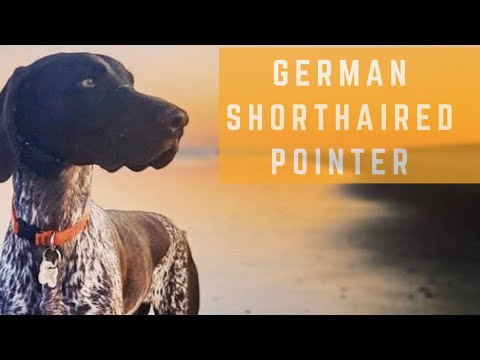 German Shorthaired Pointer – Off Leash Training