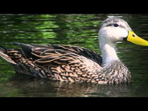 Mottled Ducks at Viera Wetlands, Florida