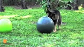 Canine Ball Herding (treibball) With Shakti And Chopper (fine-tuned Canines In Naples, Fl)