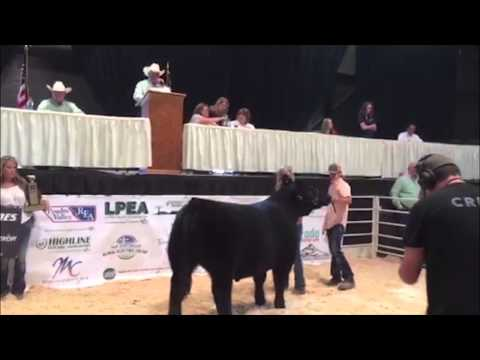 Colorado State Fair champion steer auction