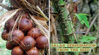 Salak Fruit or Snake fruit Growing from the seed
