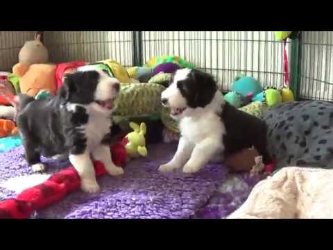 Bearded Collie puppies -  31 March 2019