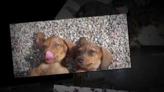 Dachshund Puppies Las Vegas 702-321-6162 Akc Dachshund Puppies