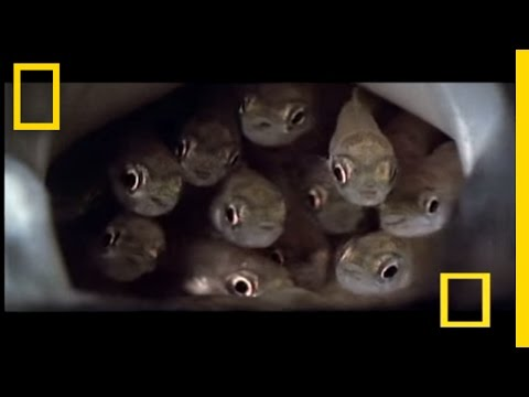 The Crafty Catfish Kidnap | National Geographic