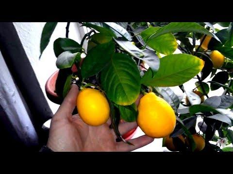 Лимон. Обзор куста лимона. Лимон 2014.