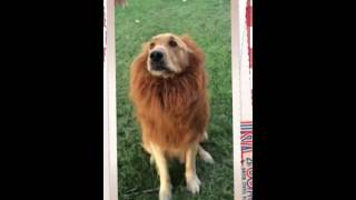 Golden Retriever Playing In Lion Costume