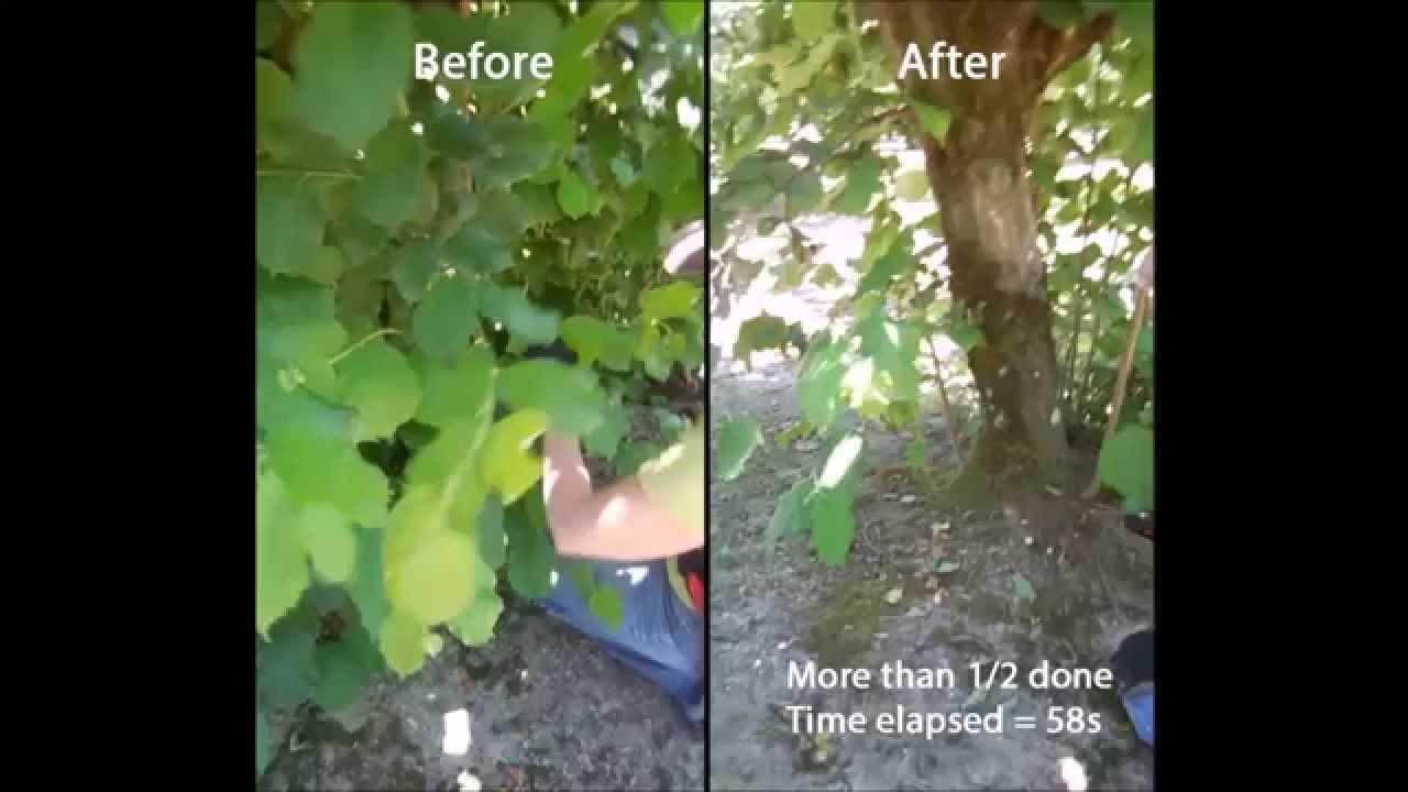Suckering Summer Pruning Hazelnuts Youtube