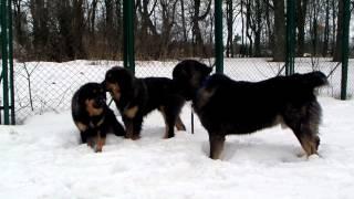 Поведение собак. Кавказы & хотошо