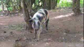 Smallholder pig farming in Uganda: A day in the life of a research for development project