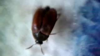 видео Ветчинный кожеед