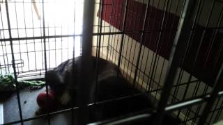 Crate Training My Husky Midnight