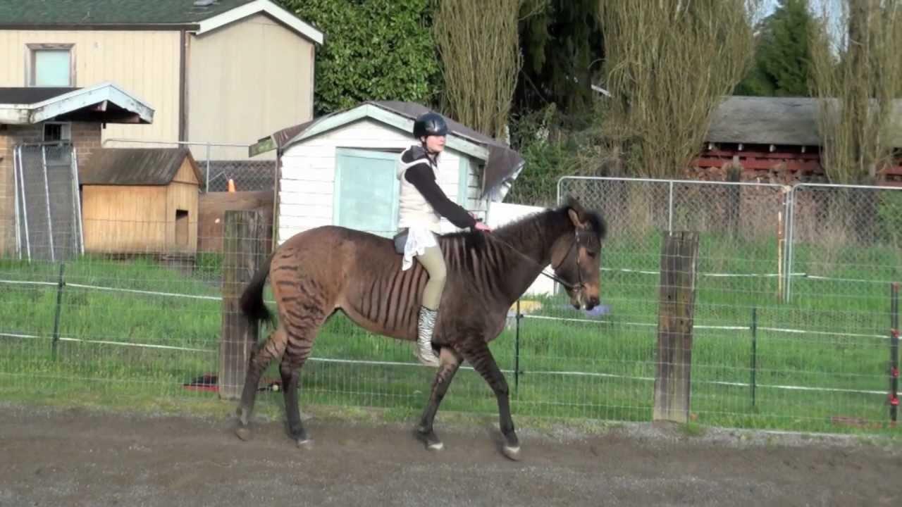 Zorse For Sale >> Zandy The Zorse Under Saddle Clicker Training Self Bridling Hd