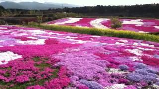 長崎県の大村市にある松本ツツジ園の芝桜です。