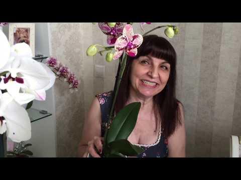 Орхидеи  - новинки :  Легато,  Дикий кот, Royoung Prince, Биг лип на дуге)))