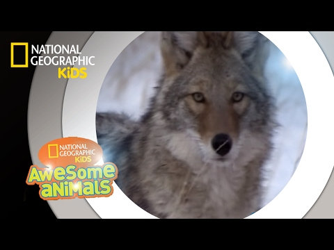 Valley of the Wolves | Awesome Animals