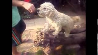 Lindo Perrito Mezcla Poodle Con Maltes