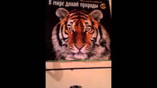 тигр фото...