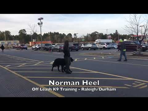 "5yo Newfoundland/Mastiff Mix ""Norman"" Before and After - Giant Breed Dog Training Raleigh Durham"