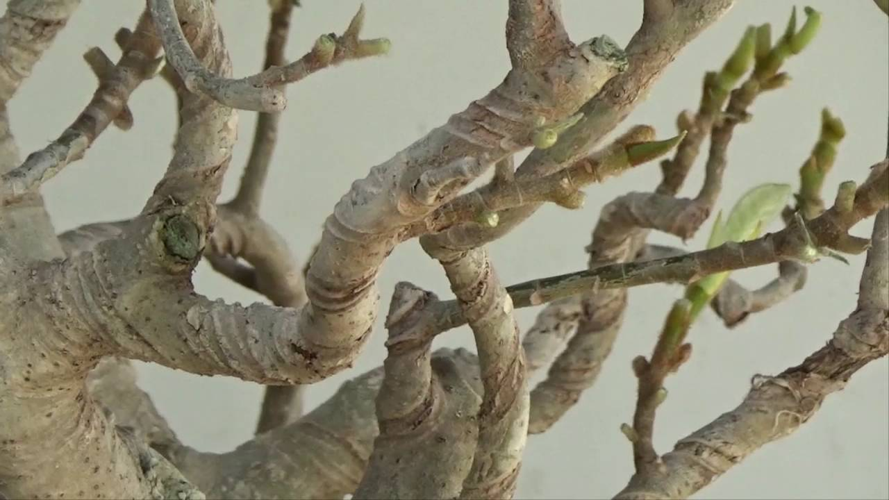Bonsai Tutorials For Beginners Australian Ficus Branch Placement Wiring Not Dummies And Youtube