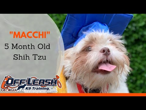 Macchi | 5 Month Old Shih Tzu | Small Breed Obedience Rockstar | Any Breed, Any Age | ATL
